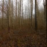 bos met canadapopulier in natuurgebied in Boortmeerbeek